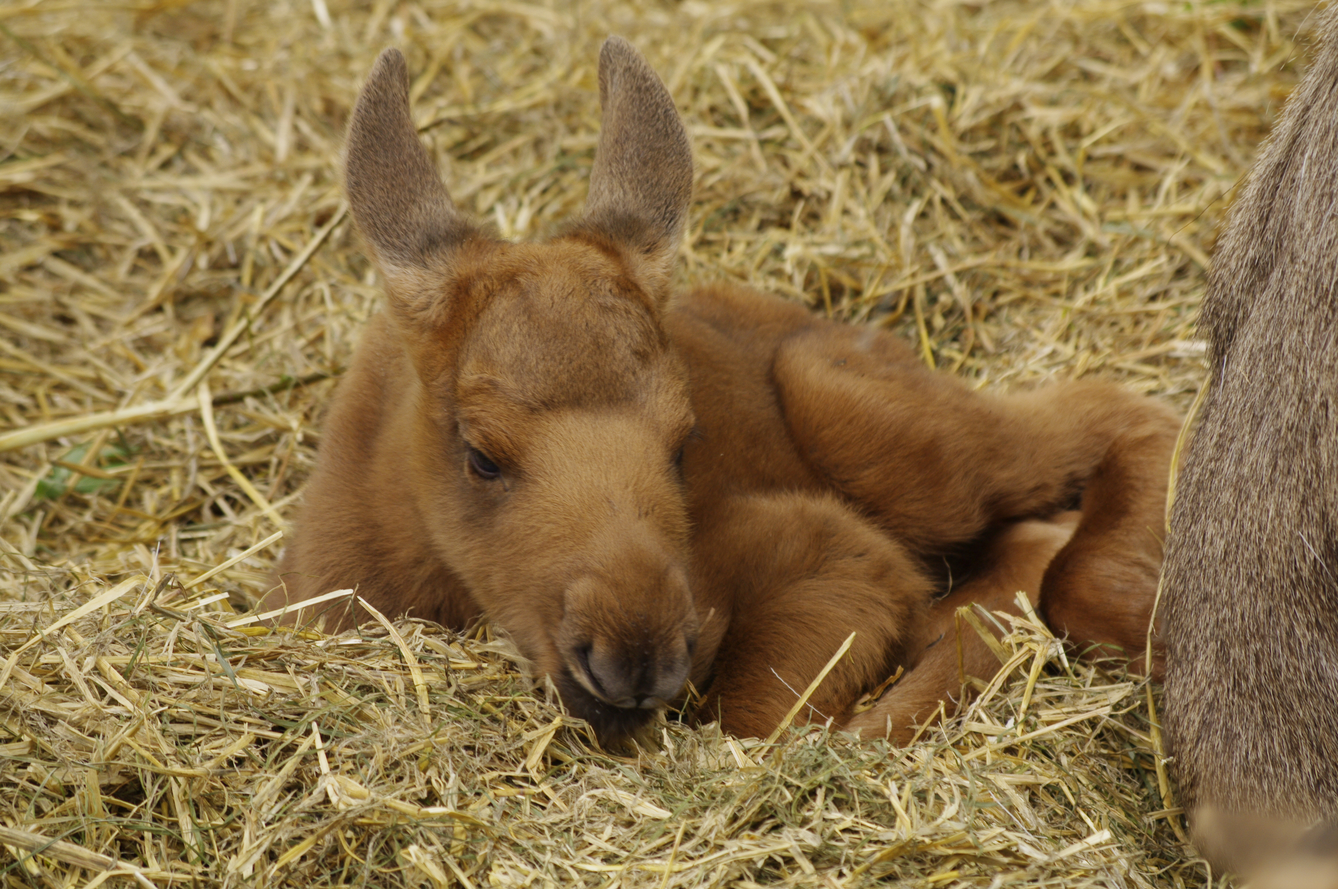 Displaying 17> Images For - Baby Elk Pictures...